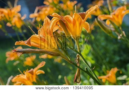 orange lily blooming in the summer garden