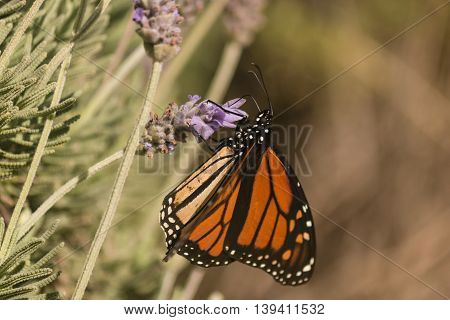 closeup of monarch butterfly feeding on nectar