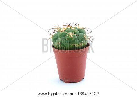 Beautiful small cactus flower isolated white background.