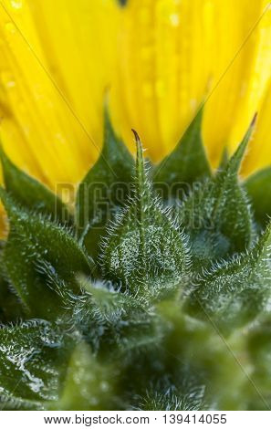 Hairs on the sunflower. The back side details of a beautiful sunflower.