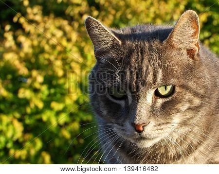 Lovely gray tomcat enjoying the sunny day