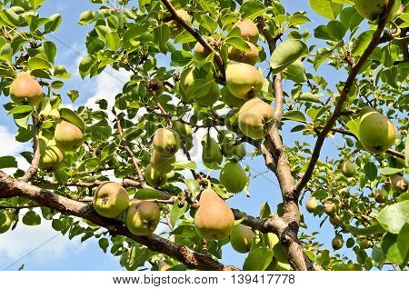 Pear orchard. Fruit growing in central Europe.