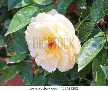 White yellow Camellia flower in the garden outdoor daylight