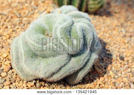 Thorny Brain cactus green outdoor daylight garden
