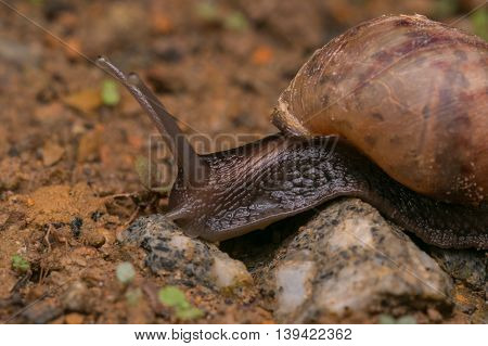 Brown Snail, Snail of Borneo , Close-up of Snail