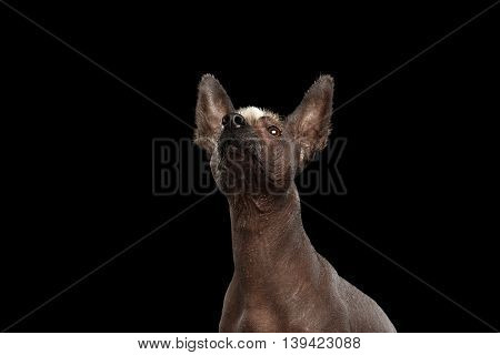 Funny Xoloitzcuintle - hairless mexican dog breed Raising up nose, Studio Close-up portrait on Isolated Black background, Curious Looks