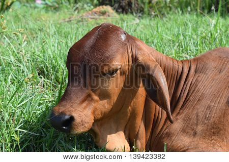 close up calf resting on the meadow in vietnamese countryside