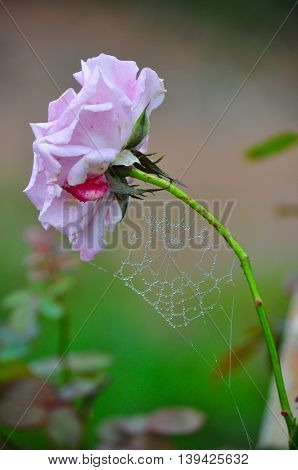 Cobweb covered in dew drops on Pink rose