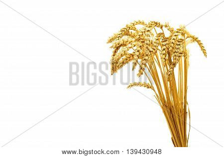 agriculture barley, crop wheat on the white background