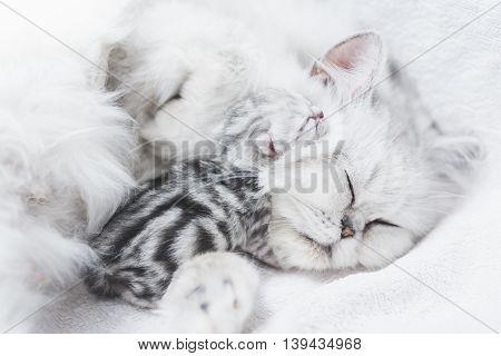 Close up Beutiful persian cat feeding her kitten