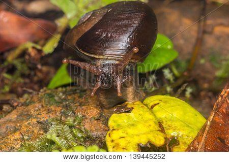 Snail , Cute Snail , Snail of Borneo , Brown Snail