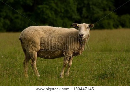 Single sheep turned and looking at the camera standing in the grass near farmland.