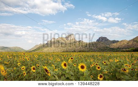 view of nice sunflower valley with mountain on the background during summer time