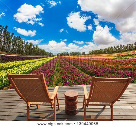 Warm spring day in Israel. Huge field of blossoming garden buttercups-ranunculus. Pair of comfortable wooden sun loungers are on the platform