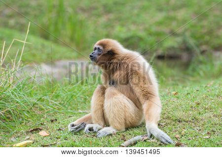 White Cheeked Gibbon Cute Monkey Sitting On Green Grass