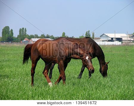 Two brown horses feeding on a green meadow not far from the farm