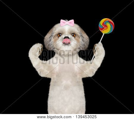 dog with bow-knot with a candy lollipop in the paw - isolated on black