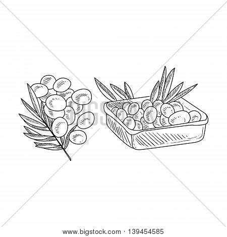Olive Branch And Harvested Olives Hand Drawn Realistic Detailed Sketch In Classy Simple Pencil Style On White Background