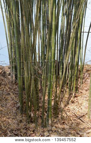 close up green bamboo tree in nature garden
