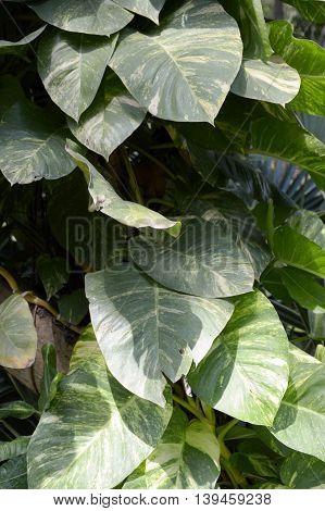 fresh green Epipremnum aureum plants in nature garden