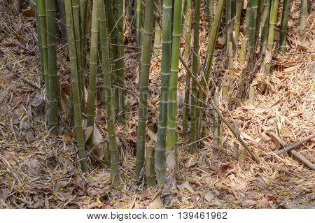 close up bamboo tree in forest , Nakhon Nayok , Thailand