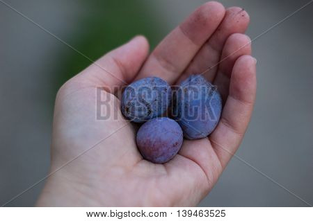 Three plums in the hand of the girl.