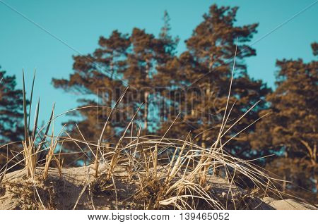 Dune at the Baltic Sea coast. Summer or autumn sand beach. Nature background image. Vacantion concept. Forest pine grass and sand. Color blue cyan and orange effect.