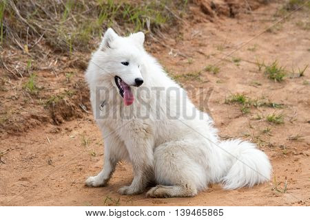 White dog sitting on the ground with his tongue hanging out