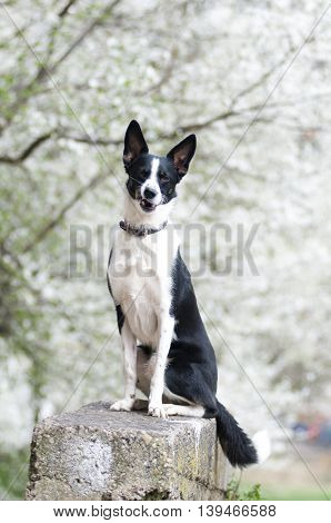 Mixed breed dog portrait outdoor with blossom trees