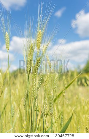 Unripe ears of rye in the field on a background of blue sky with clouds