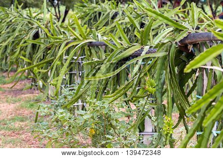 Dragon Fruit Or Pitaya On Tree In The Garden. The Dragon Fruits Plantation In Thailand
