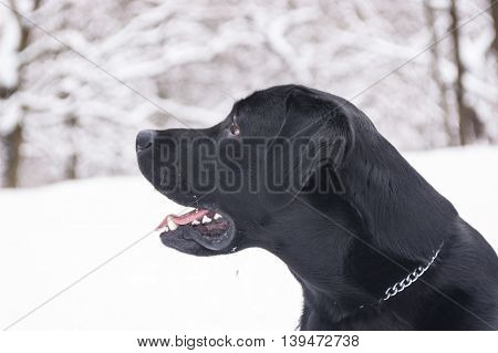 Black labrador of retrieve in winter. Portrait in profile.