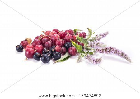Blooming sprig of mint and berries of gooseberry and blackcurrant isolated on white background