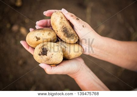 Cropped image of female gardener holding fresh potatoes at garden