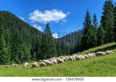 Flock of sheep in the Tatra mountains,Chocholowska Valley, Poland.