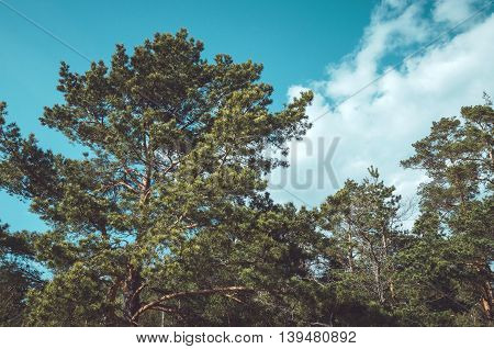 Forrest of green pine trees with blue sky. Nature background outside. Season spring summer autumn. Concept ecology eco.