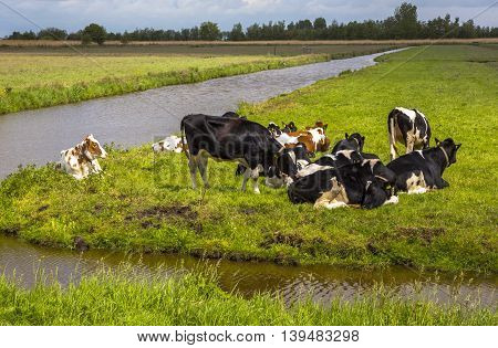 red and black cows lie on the green grass near the river