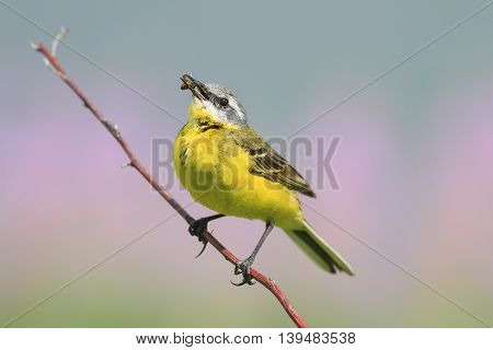 yellow bird Wagtail sitting on a branch with insect in its beak