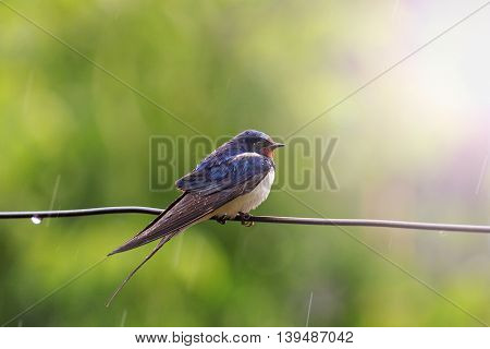 Swallow on a wire in the rain, summer, summer rain, wet bird with sunny hotspot