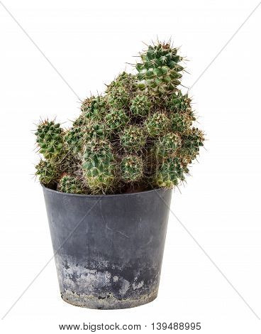 Cactus in plastic potisolated on white background and clipping path