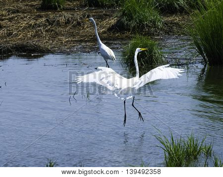 A pair of Egrets with one landing on the water
