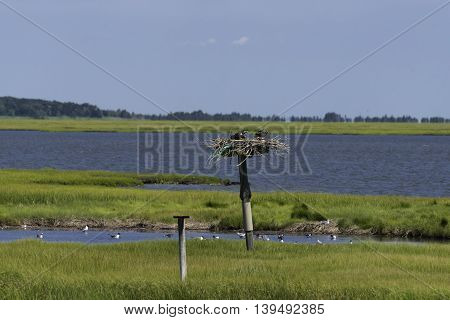 Birds sitting in thier nest in the NJ Salt Marshes