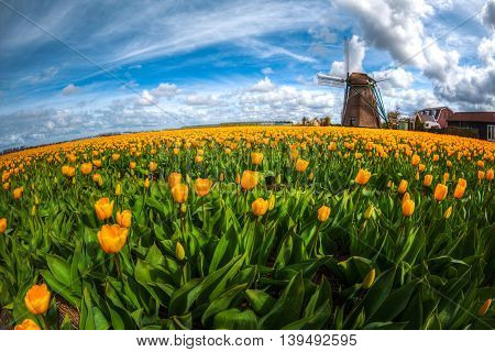 Windmill with tulip field in Holland. Europe