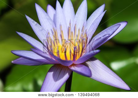 purple lotus and yellow color center in pool with big leaf.