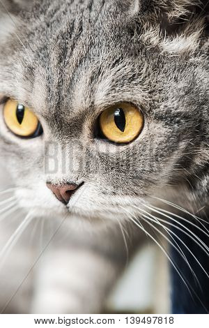 British cat on the hunt. cat look. Focus on the eyes. vignetting conceived as an artistic effect