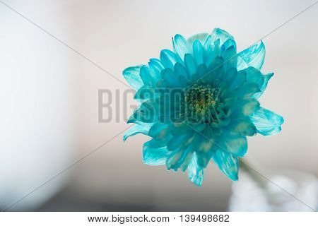 blue daisy flower navy blue daisy flower on white isolated background text word on background daisy flower beautiful daisy lovely daisy pretty daisy fresh daisy