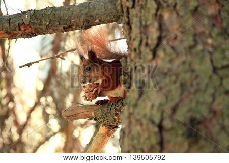 Red squirell on the tree branch eating nut
