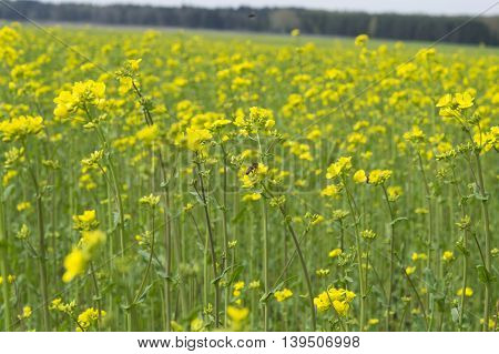 on the photo canola yellow flowers during flowering