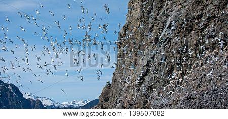 Kittiwakes fly around their rookery in Alaska