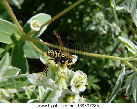 wasps-wishing harmful insects are common throughout Europe.